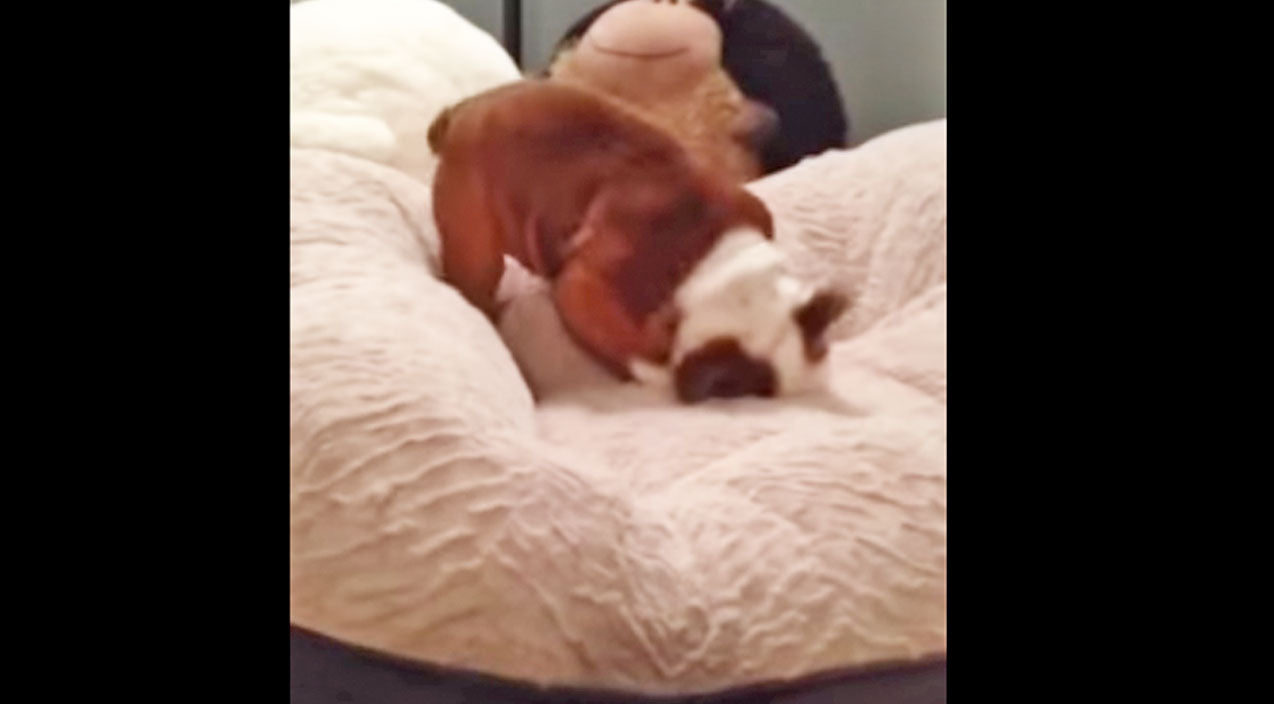 Animals Songs | Can You Tell This English Bulldog Puppy Loves His New Bed? (Adorable!) (WATCH) | Country Music Videos
