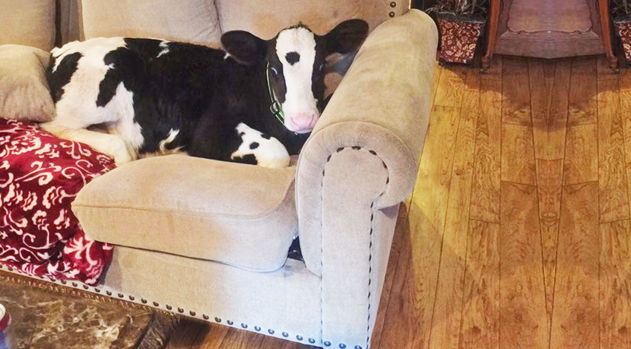 VIDEO EVIDENCE: This Cow Is Convinced He's A Dog! | Country Music Videos