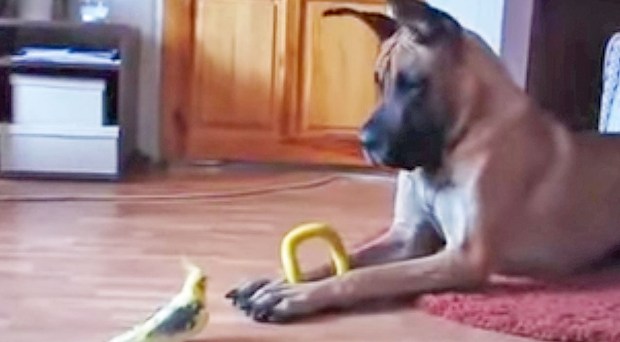 Animals Songs | Great Dane Meets Bird. What Happens Next Will Keep You Laughing! (WATCH) | Country Music Videos