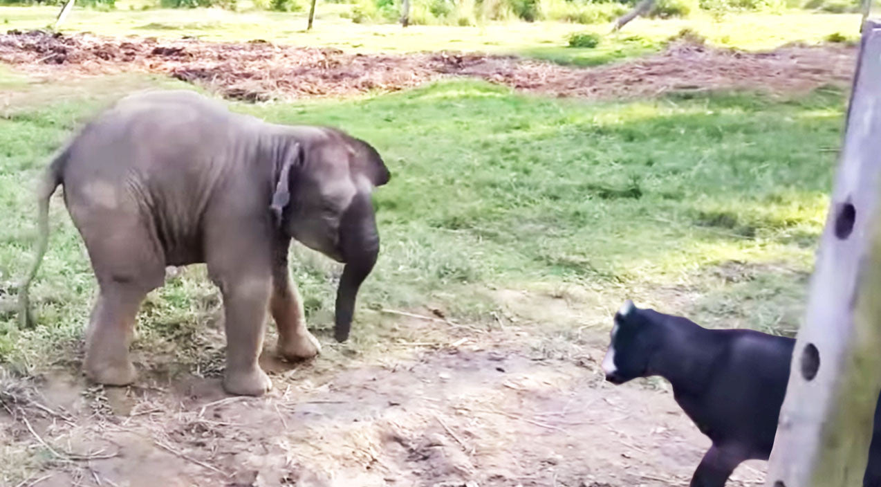 Viral content Songs | Baby Elephant Meets Goat For The First Time, His Reaction? Hysterical! | Country Music Videos