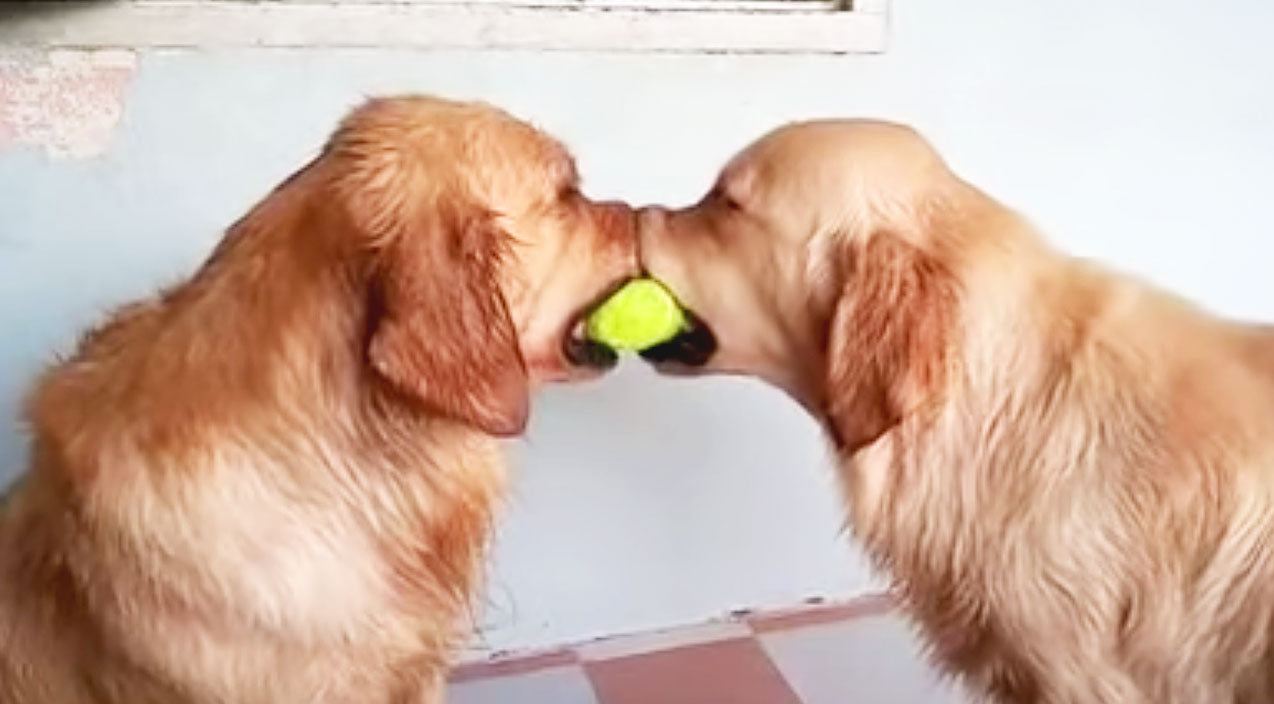 Animals Songs | When A Third Golden Retriever Steps Into The Picture, You'll Never Guess What Comes Next! | Country Music Videos
