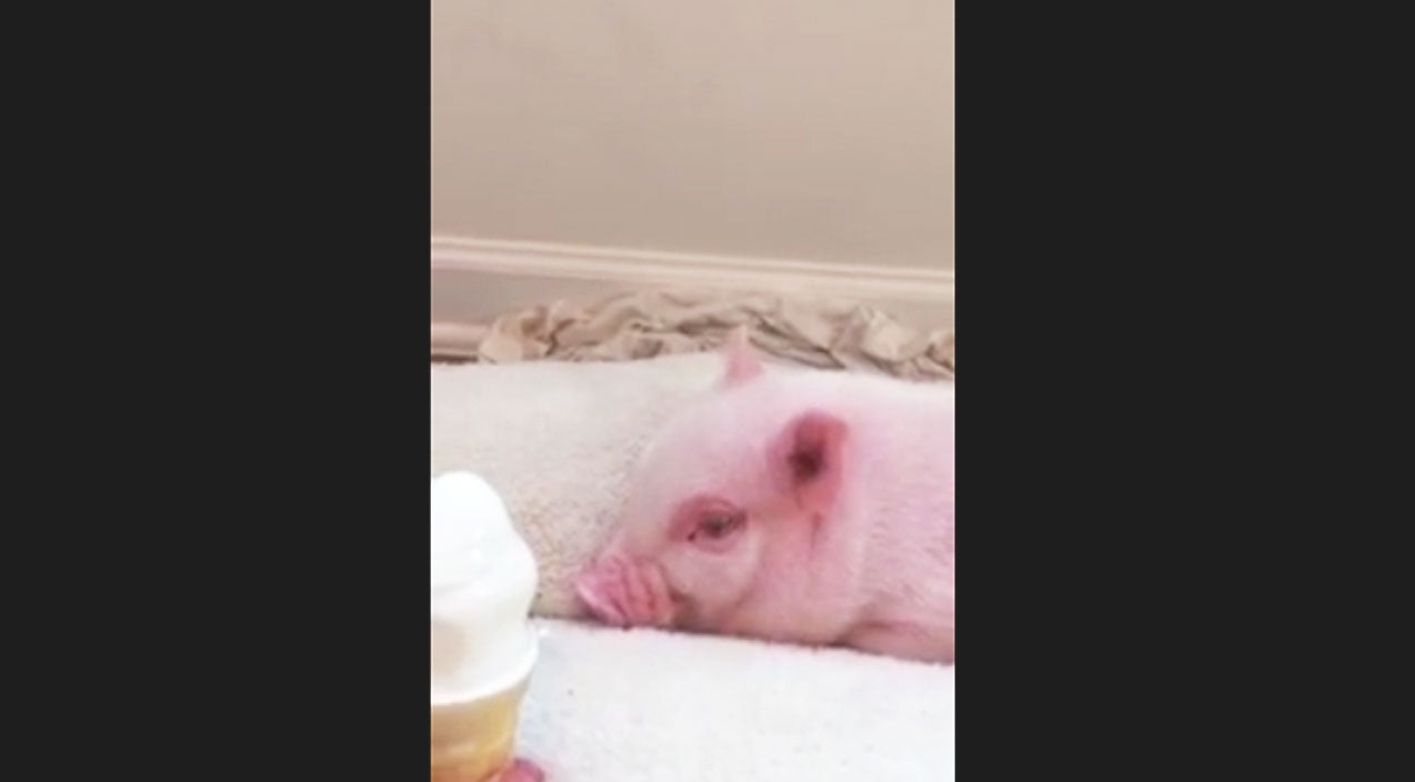 Animals Songs | Pickle The Miniature Pig Tries Ice Cream For The First Time And The Reaction Is Hilarious! | Country Music Videos