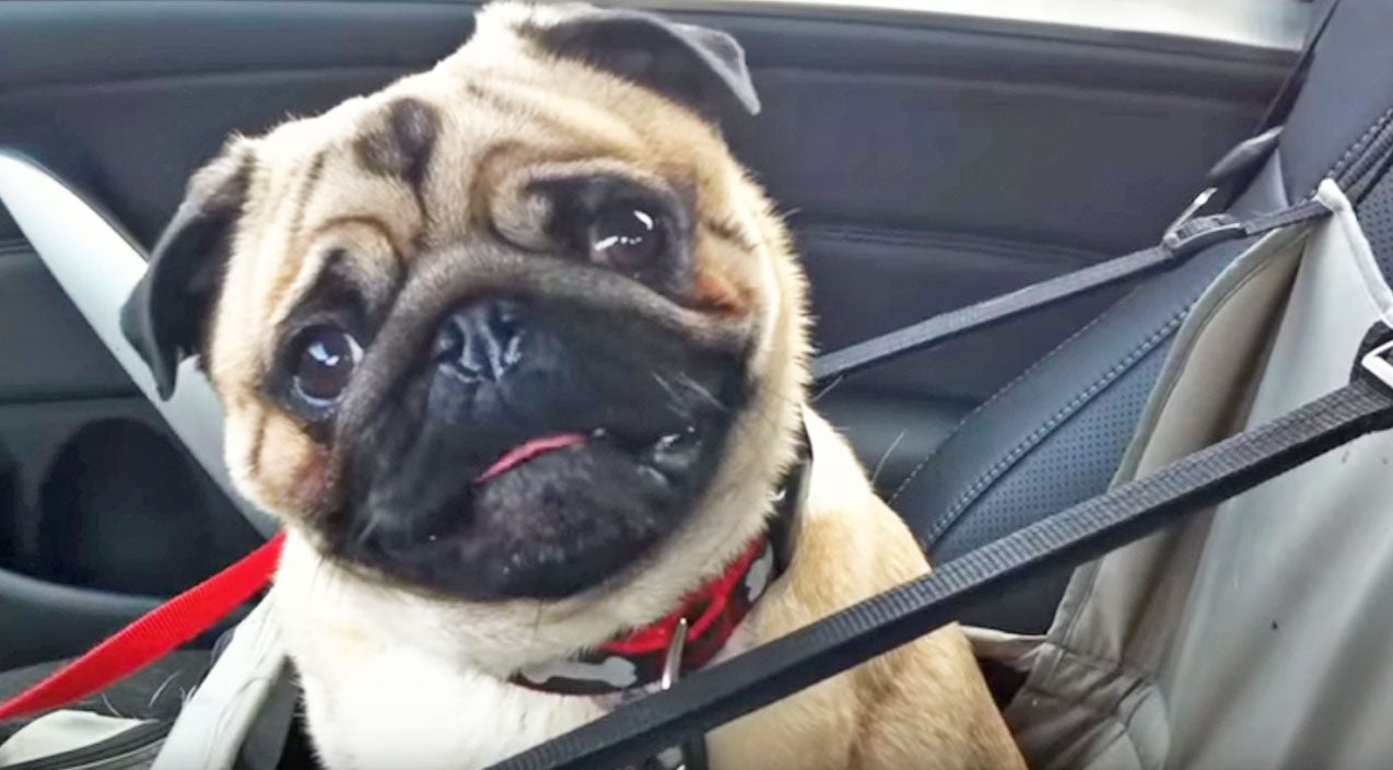 Animals Songs | This Adorable Pug LOSES IT When He Finds Out Where He's Going | Country Music Videos