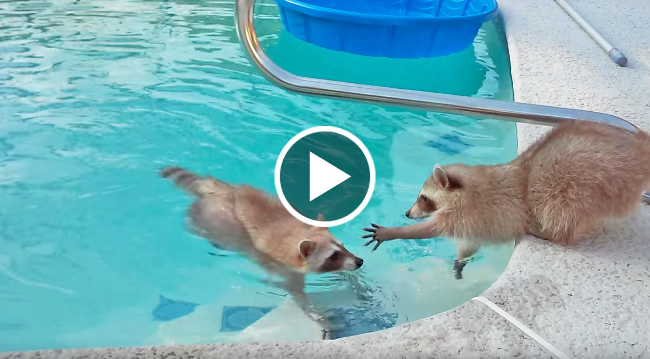 Raccoon Wants To Rescue Brother From Pool But There Is One Problem Country Rebel
