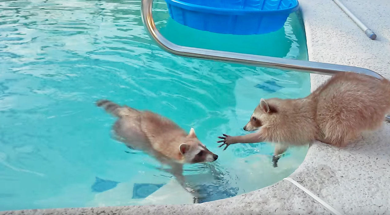 Cute animals Songs | Raccoon Wants To Rescue Brother From Pool, But There Is One Problem | Country Music Videos