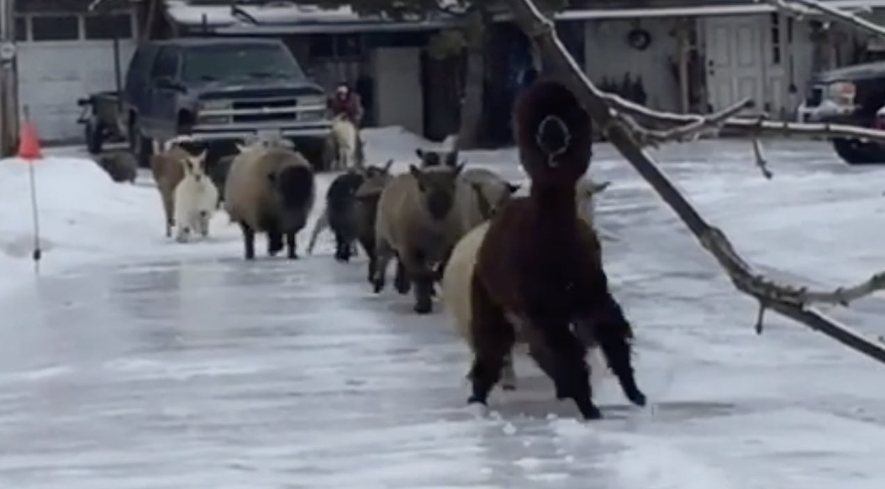 Petting Zoo Animals Take Slippery Stroll To Reach Breakfast | Country Music Videos