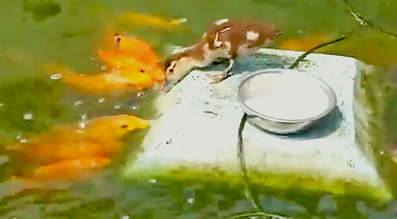 Cute animals Songs | Adorable Duckling And Koi Sharing Some Rice Is Too Cute! | Country Music Videos