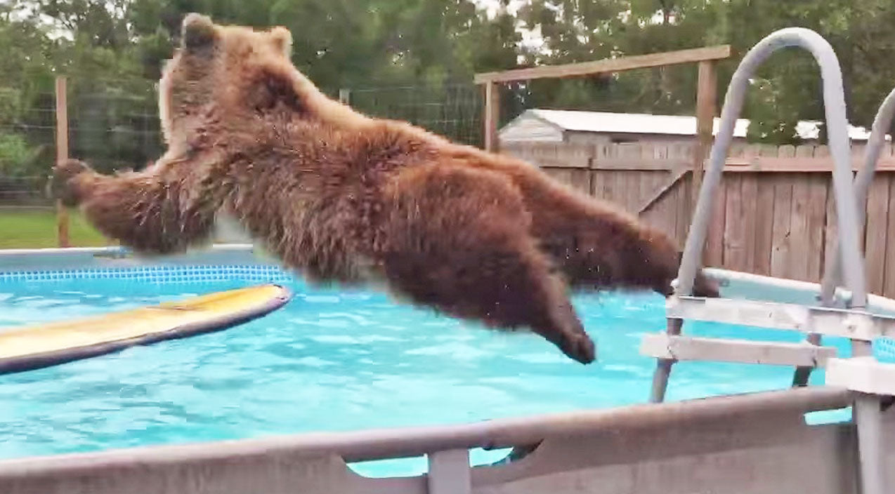 Funny animals Songs | Have You Seen This Belly-Flopping Bear? He's Hysterical! | Country Music Videos