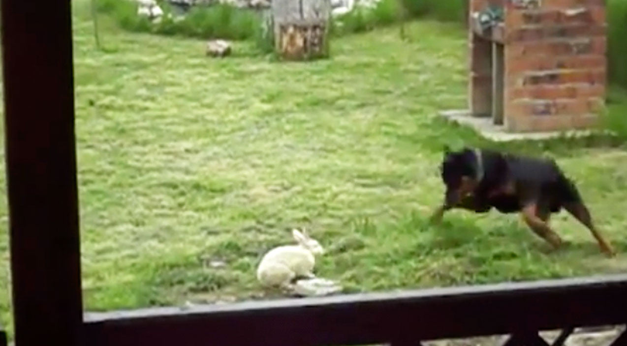 Viral content Songs | Rottweiler Finds Bunny In Backyard And Does The Unexpected | Country Music Videos