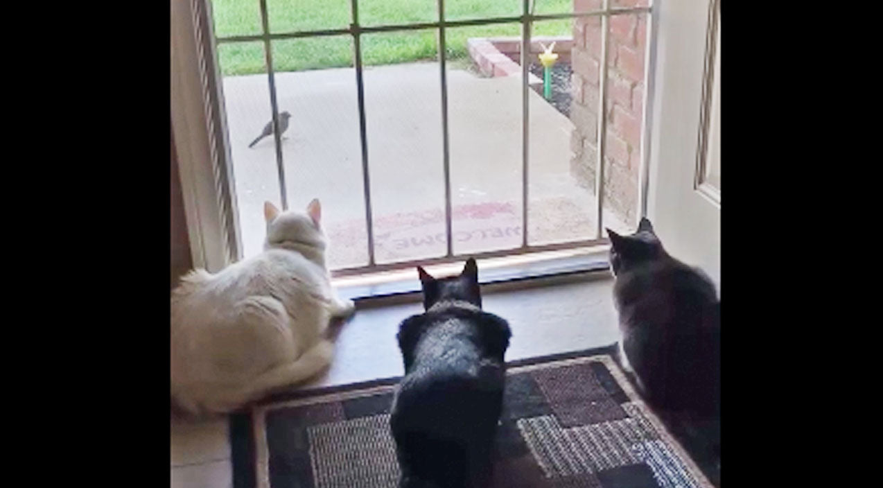 Three Cats Watching A Bird Get The Unexpected Scare Of Their Lives | Country Music Videos