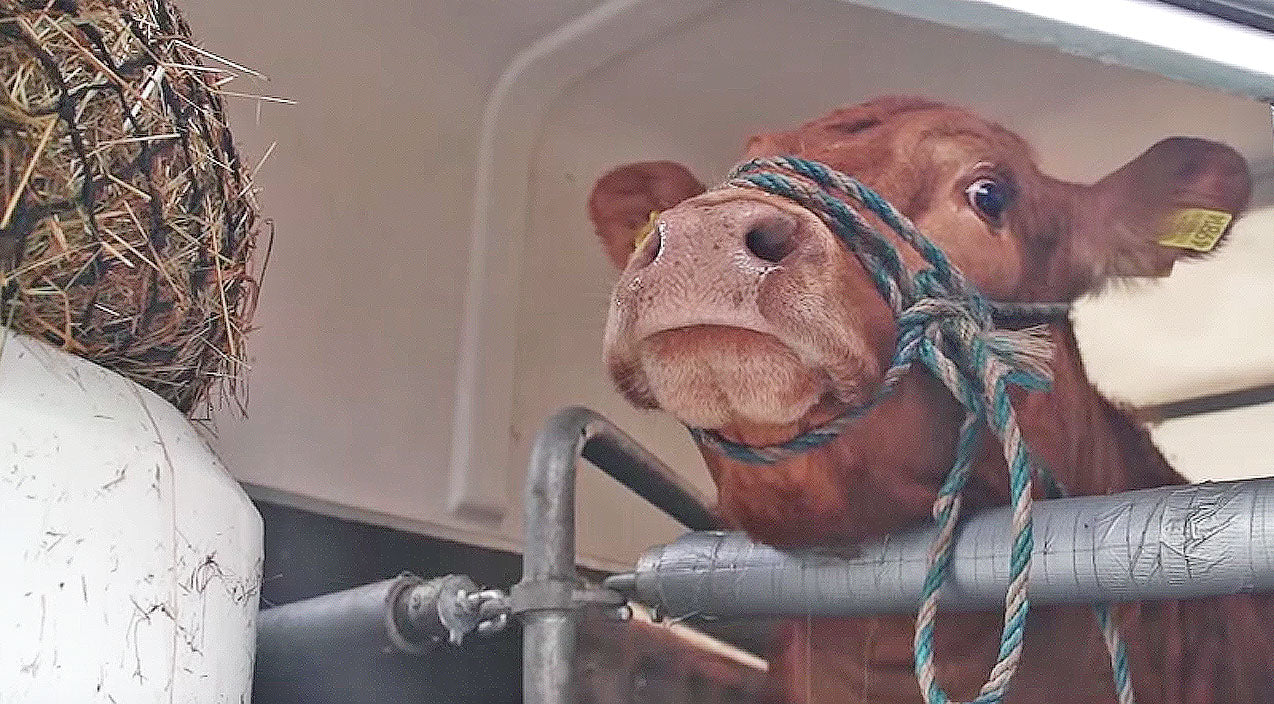 Animals Songs | This Cow Cries When She Thinks She Is Headed For Slaughter, What Happens Next? Now I'm In Tears! | Country Music Videos