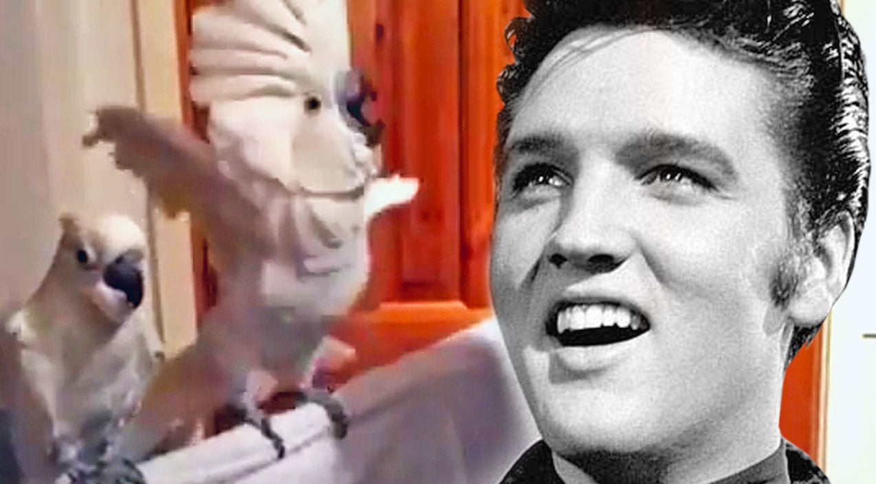 Elvis presley Songs | When This Elvis Song Is Played, What This Cockatoo Does Next Is Absolutely Hilarious! | Country Music Videos