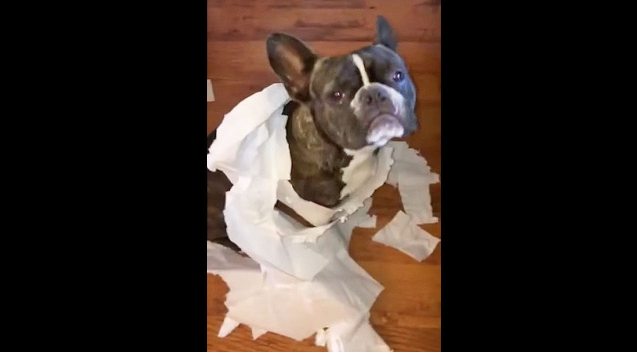 Funny pets Songs | You Won't Believe Who Blames This French Bulldog For Making A Mess! | Country Music Videos