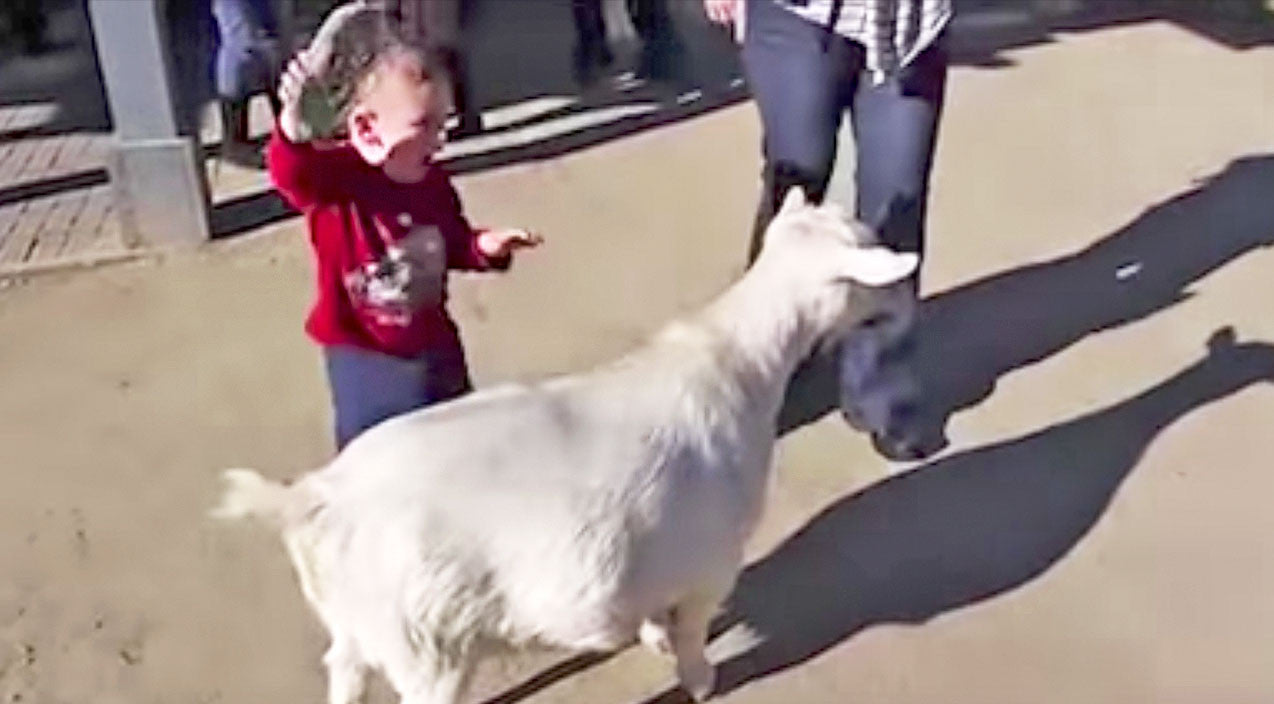 Viral content Songs | Goat's Loud Fart Scares The Daylights Out Of Little Kid | Country Music Videos