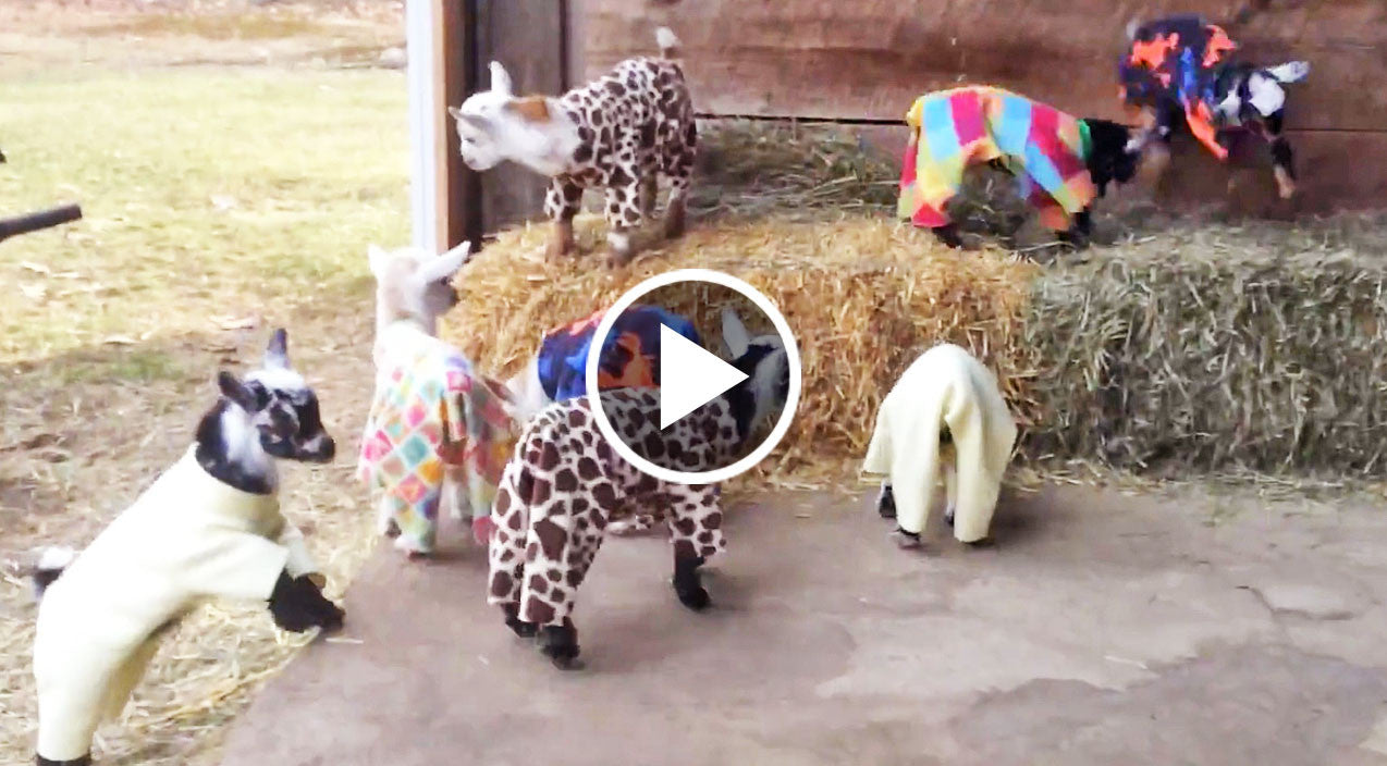 this video of a baby goat pajama party is exactly what you