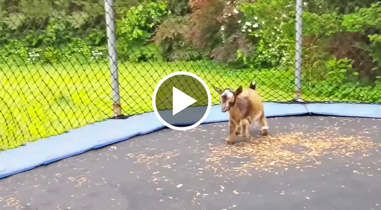 Baby Goats Jumping On A Trampoline?? SO Cute!! | Country Rebel