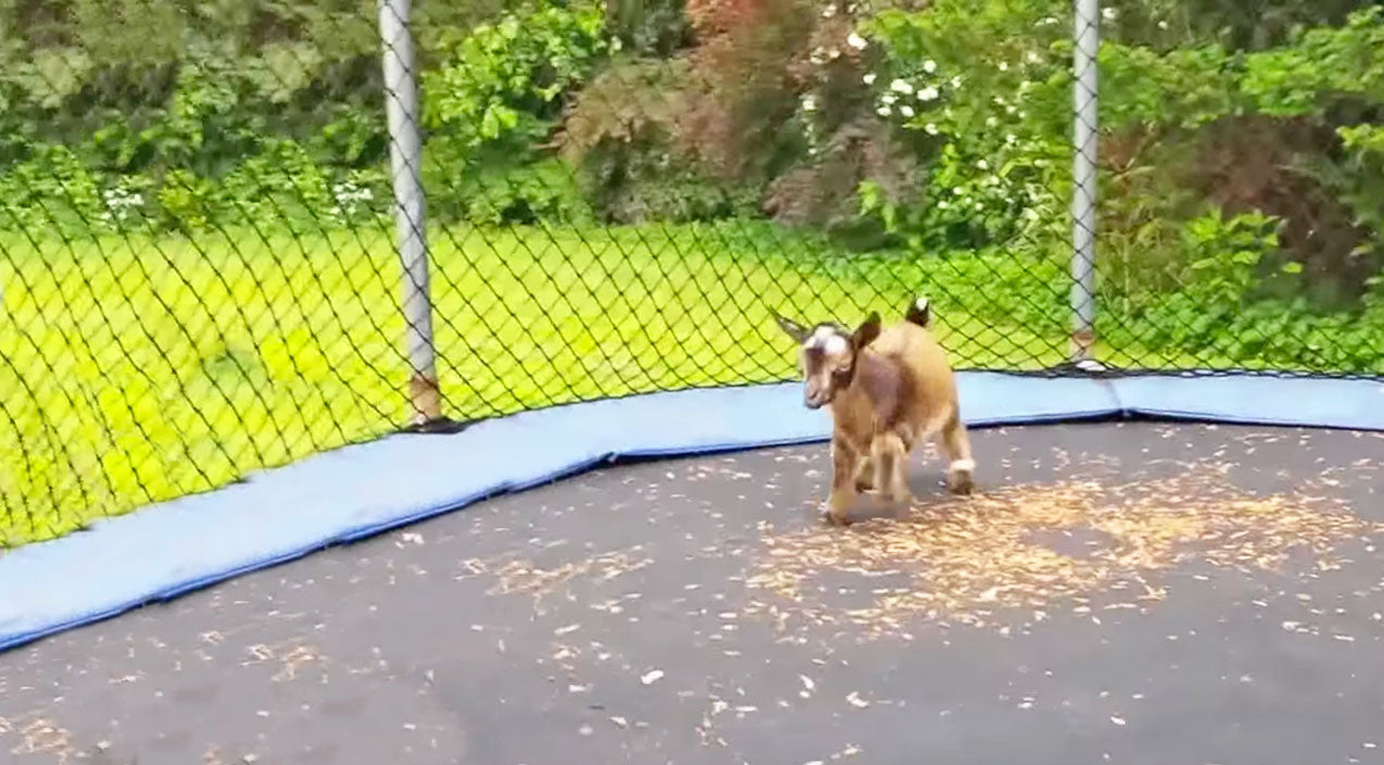 Baby Goats Jumping On A Trampoline?? SO Cute!! | Country Music Videos