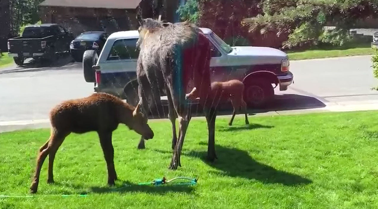 Viral content Songs | Baby Moose Stumble Upon Sprinkler And Do The Unexpected | Country Music Videos