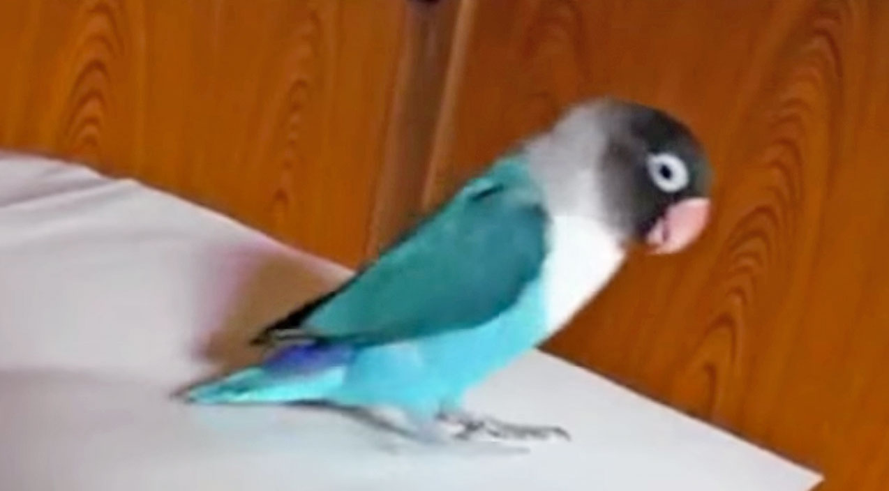 Funny pets Songs | This Tap Dancing Parrot Will Have Y'all Laughing 'Til It Hurts!! (Hilarious!) | Country Music Videos