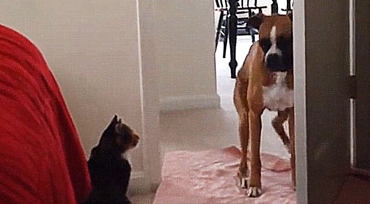 Funny Songs | These Dogs Are Terrified To Walk Past Cats, And It's HILARIOUS!! | Country Music Videos