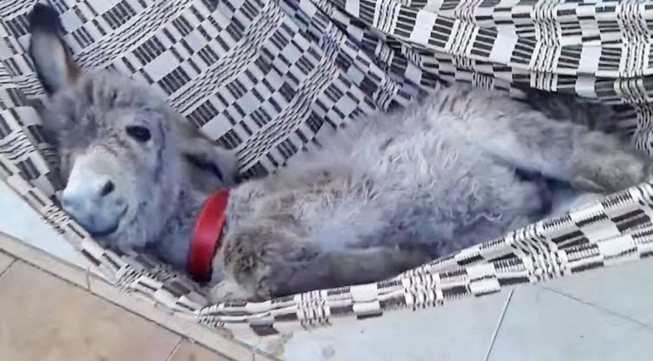 Baby Donkey Relaxing In Hammock Will Melt Your Heart | Country Music Videos