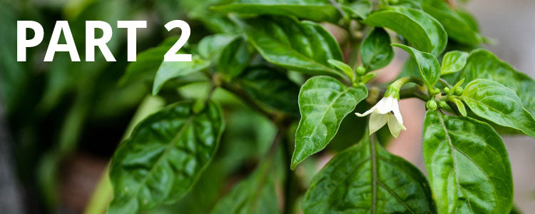 How to grow and feed chilli plants