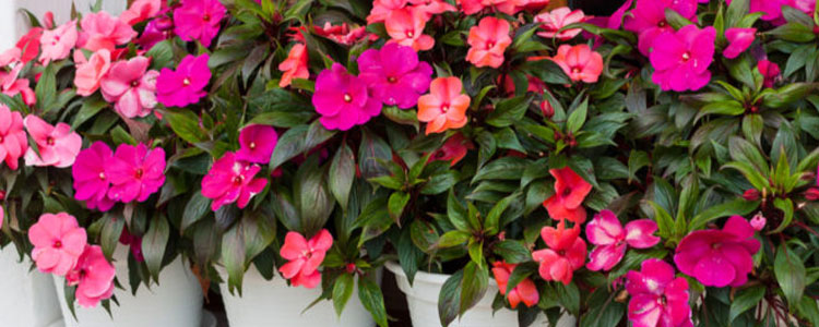 Propagating and Cloning Impatiens