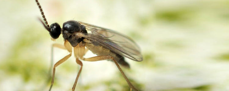 Pests - Fungus Gnats