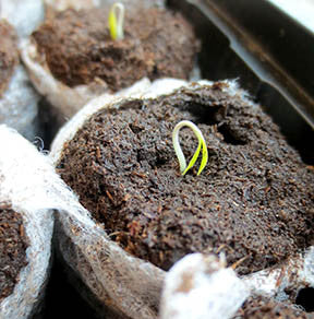How to grow herbs from seed? Seedlings in Root cubes