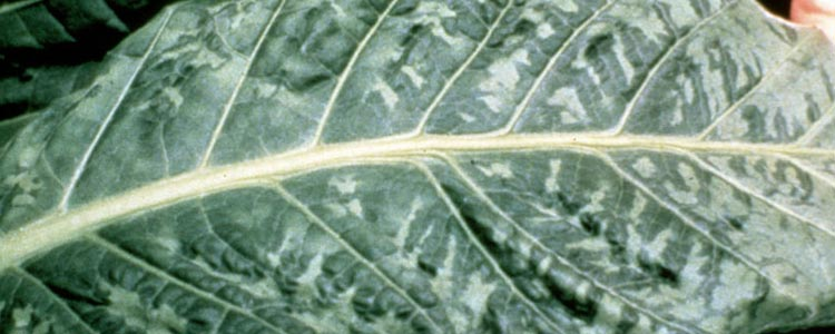 Tobacco Leaf Virus