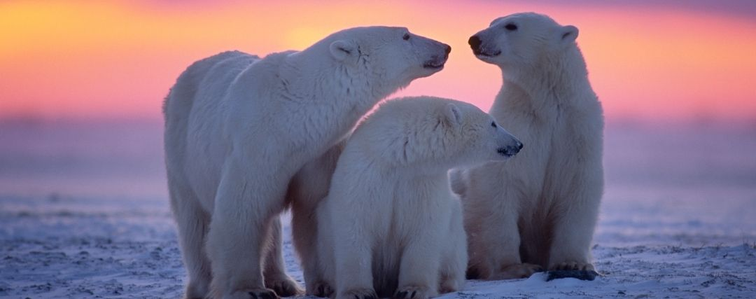 Famille Ours Polaires