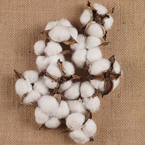 Cotton Pods