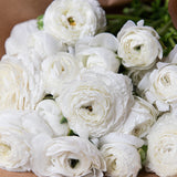 White Ranunculus Jumbo 30 Stem Bunch