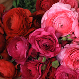 Assorted Ranunculus (10 Light Pink, 10 Red and 10 Hot Pink) Jumbo 30 Stem Bunch