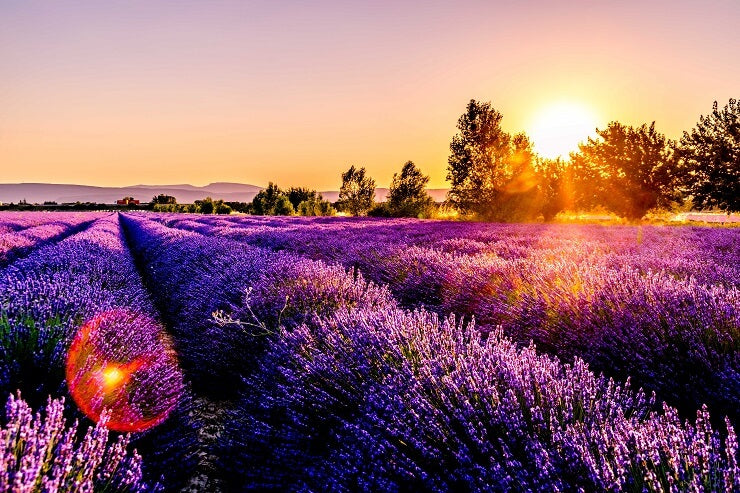 Essential Oils From Natural Ingredients Lavender