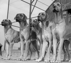 A group of Great Danes