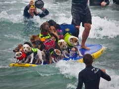Twelve dogs and a man on a surfboard.