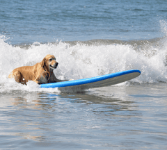 Dog surfing over a wave.