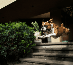 Dog jumping over stairs.