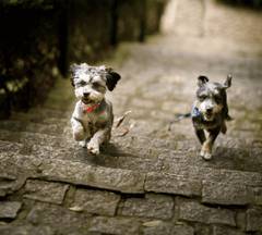 Two dogs running up stairs.