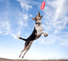 Dog catching a disc in the air.