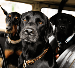 3 dogs in a car.