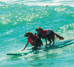 Two dogs surfing together.