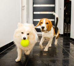 Dogs chasing each other in the house