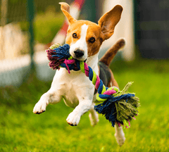 Dog running with a toy in its mouth.