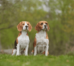 Two beagle dogs