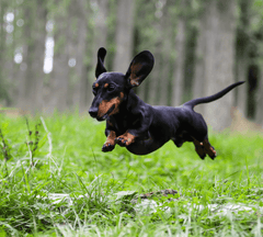 Small Dog leaping in the air.