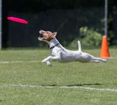 Dog in Disc Dog competition catching a frisbee.