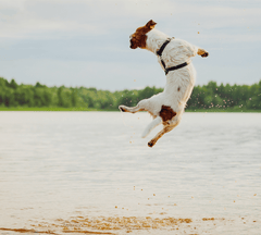 Dog jumping in the air.