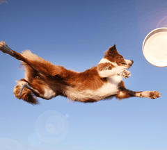 Dog flying through the air to catch a frisbee